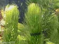 Ceratophyllum  demersum (15) plante bassin ou aquarium