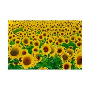 Sunflower Field Backdrop Decor Photographic Background 7x5ft