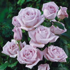 Climbing rose Blue Moon scented lavender - blue bare rooted FREE DELIVERY