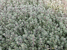 Zitronenthymian Thymus citriodorus Silver Queen Sommerblüher Bodendecker