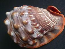 Alte, große Muschel - *Cassis Cornuta *, Helmschnecke, Meeresschnecke,  *TOPP*