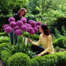 8Pcs Purple Giant Allium Giganteum Flower Black Seeds Home Garden Plant Decors