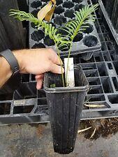 Cycas Siamensis Live Plant Blue Cycad FREE SHIPPING