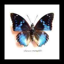 Framed butterfly collection for sale Australia Charaxes smaragdalis BACS