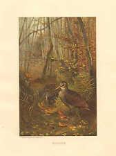 Woodcock, Birds, Natural Habitat, Chromo by Prang, 1885 Antique Art Print,
