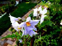 LITSCHI-TOMATE mit Stacheln und hellblauer Blüte, rot, Solanum sisymbriifolium