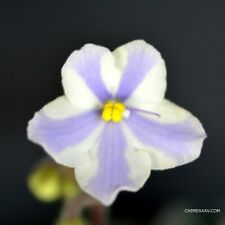 Chimera African Violet - O'Fortuna