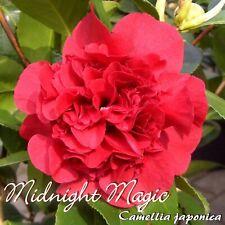 "Kamelie ""Midnight Magic"" - Camellia japonica - 3-jährige Pflanze"