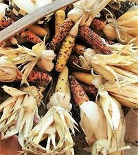 "50 INDIAN MINI MIX CORN Miniature 4"" Ears Ornamental Zea Mays Vegetable Seeds"
