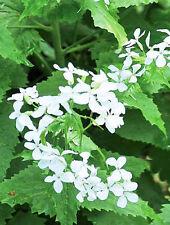 Night violet Hesperis matronalis White Flower Seeds from Ukraine