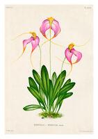 Masdevallia Henriettae by Jean Linden Orchids A4 Art Print Flower Art