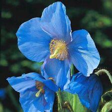 "MECONOPSIS x SHELDONII ""LINGHOLM"", BLUE HIMALAYAN POPPY 30 seeds"