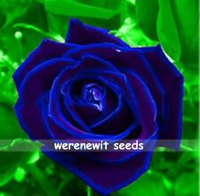 20 X RARE VIOLET BLUE ROSE SEEDS,FREE POST,FRESH STOCK,AUSSIE SELLER