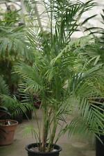 Chamaedorea hooperiana-Hoopers Palma - 5 semi-Palme semi