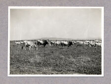 Maremma Tuscany Grazing cattle Tori razza maremmana Gelatinsilv. photo 1931 L322