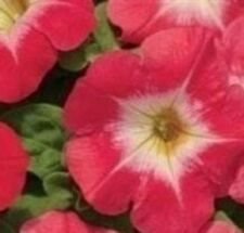 Petunia - Mirage Red Morn - 50 Seeds