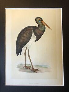 1853 Black Stork : Hand Coloured Mounted Bird Print : Morris British Birds