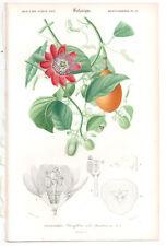 1849 Original Botanique Imprimé Passiflora alata par Ch. Orbigny, atlas volume 3