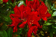 Rhododendron Wallowa Red in 9cm pot deciduous azalea
