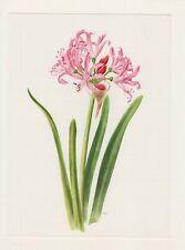 Guernseylilien Nerine Offset-Lithografie 1965 Anne Marie Trechslin
