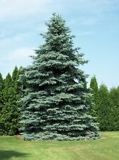 Colorado Blue Spruce - Picea Pungens Glauca - 25 seeds - Bonsai - Christmas Tree