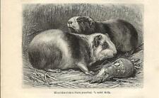 Stampa antica PORCELLINO D'INDIA o CAVIA Cavia porcellus 1891 Old antique print