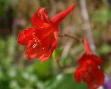 Red Larkspur, Orange Larkspur  - Delphinium nudicaule - 80 seeds