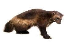 Wolverine Standing Taxidermy Wall Mounted Animal Statue