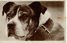 VINTAGE postcard:  LOVELY DOG WEARING HEAVY LEATHER COLLAR