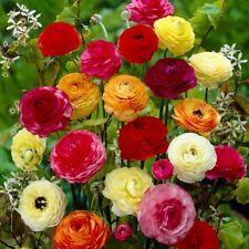 Bolly Bombillas ® - 12 x bombillas de colores mezclados Ranunculus