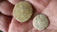 2 Scutella Caillaudi Erizos de Mar Fossil Eoceno Lutetien Madera Gouet Francesa