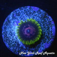 New listing New York Reef Aquatic - 0523 C5 Rainbow Yoda Zoanthid Wysiwyg Live Coral