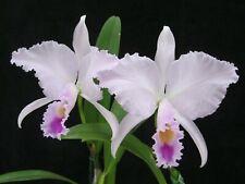 New listing Rare Cattleya Orchids - C trianaei 'Narrow Lip'