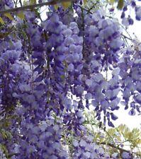 Glycine de Chine Wisteria sinensis Bleu pot 2 litres 90/120 cm
