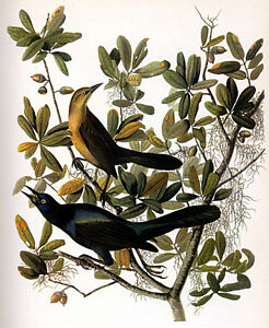 John James Audubon Boat-Tailed Grackle 15x22 Art Print Numbered Ltd. Edition