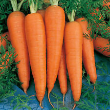 Carrot - Danvers 200 Seeds! BIG TOPS- EASY TO PULL! COMBINED S/H! SEE MY STORE!