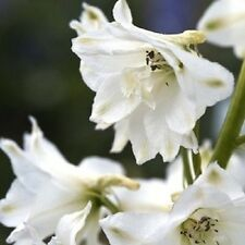 50+ Butterfly White Delphinium Flower Seeds / Chinensis / Perennial