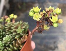 """Sedum Dendroideum Cluster Rare Succulent Plant 2/"""""""