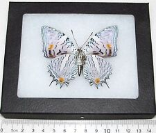 REAL PERUVIAN LEOPARD SPOTTED BAEOTUS JAPETUS VERSO FRAMED BUTTERFLY INSECT