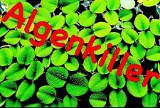 Algenkiller 10x10cm Büschelfarn Aquarium Pflanzen Schwimmpflanzen