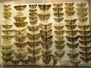 StoreBox 8 (69) British Moths Butterflies  Insect Lepidoptera Taxidermy