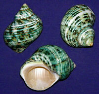 """Polished Imperial Cone Shell ~ 2-1//2/""""~ Craft Seashell Select 1 Or 2  Pcs."""