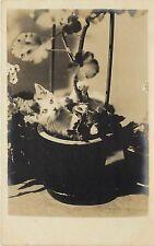 c1907 Real Photo Cat Postcard; Calico Kitten in Geranium Pot, Unposted