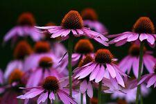 EQUINACEA echinacea purpurea 250 semillas  seeds MEDICINAL