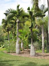 Bottle palm 15 seeds Tropical Ornamental tree