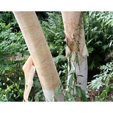 5 Creamy Bark Birch Tree Seeds - Betula Costata