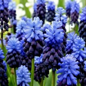 50 Muscari Bulbs 'Grape Hyacinth' Latifolium Large Spring Flowering Bulbs Plants