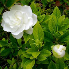 New Gardenia Jasminoides Samen Seeds Gardenie Cape Jasmine Flower Plant 40pcs
