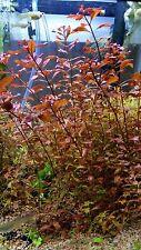 """Ludwigia """"Super Red Mini"""" live aquarium plants"""