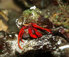 'Aqm' Scarlet Red Leg Hermit Crab, Cleaners, Fish, Marine, Scarlet ,Emeralds